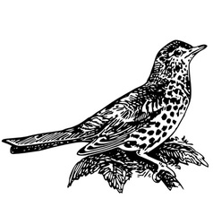 Bird mistle thrush vector