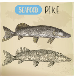 Northern pike sketch fish and seafood signboard vector