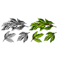 coffee leaves in vintage style hand drawn vector image