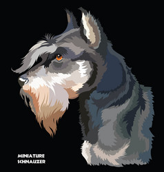 Miniature schnauzer colorful portrait vector