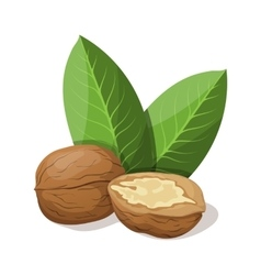 Walnuts with leafs isolated on white vector image vector image