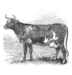 Cunningham Cattle vintage engraving vector image