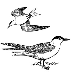 bird sterna vector image vector image