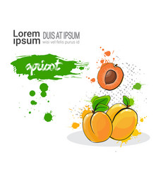 Apricot hand drawn watercolor fruit on white vector