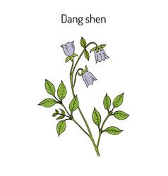 codonopsis pilosula or dang shen or poor man s vector image