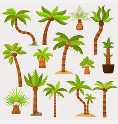 palma palmaceous tropical tree with coconut vector image