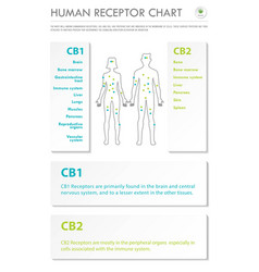 Human receptor chart vertical business infographic vector