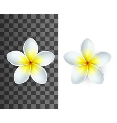 plumeria flower with white and yellow petals vector image