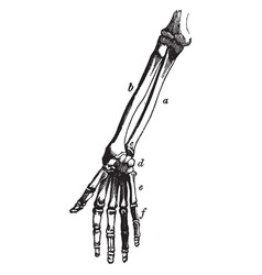 Bones of the arm and hand vintage vector