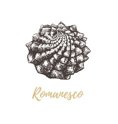 romanesco broccoli sketch vector image