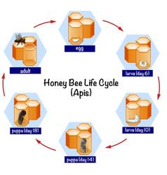 Science honey bee life cycle vector