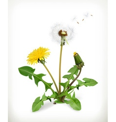 Dandelion summer flowers isolated on white vector
