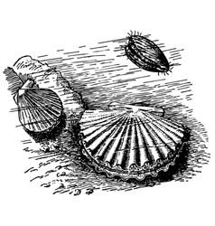 scallop vector image