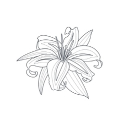 Lily Flower Monochrome Drawing For Coloring Book vector image