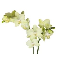 Orchidee vector