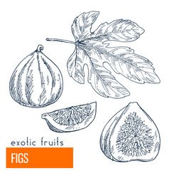 figs hand drawn vector image