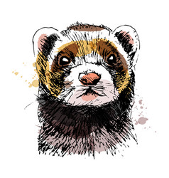 colored hand sketch head ferret vector image