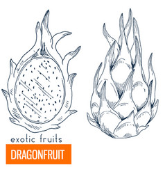 dragonfruit hand drawn vector image