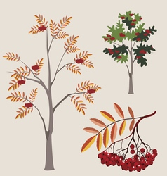 Mountain ash with berries vector