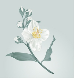 Flower twig jasmine flower and buds vector image