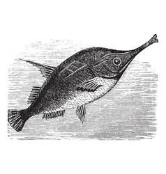 Longspine Snipefish vintage engraving vector image vector image