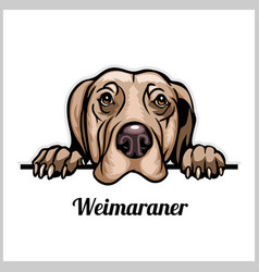 Color dog head weimaraner breed on white vector