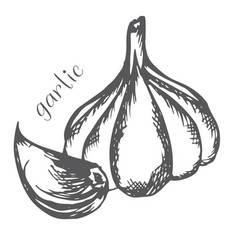bulb and garlic cloves painted with hand vector image