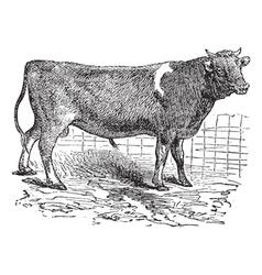 Alderney cattle vintage engraving vector image vector image