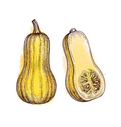 ink sketch of butternut squash vector image