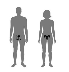 Reproductive system vector