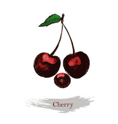 cherry vintage ink hand drawn cherry vector image