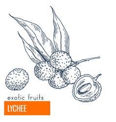 Lychee hand drawn vector