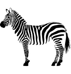 white and black animal zebra vector image