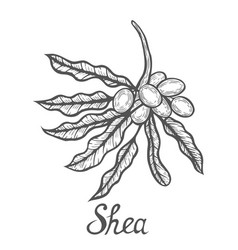 shea nuts plant vector image