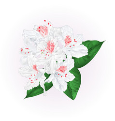 Flowers white rhododendron with leaves vintage vector