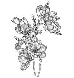 Sketch of a bouquet of spring freesias vector