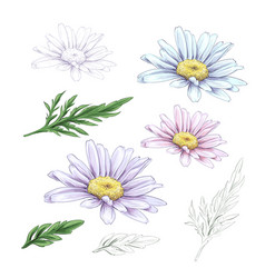 daisy flower drawing hand drawn engraved vector image