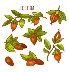 jojoba sketch plant fruit seeds for jojoba oil vector image