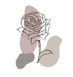 one beautiful rose vector image