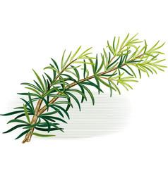 Rosemary white background vector