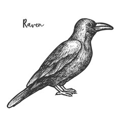 sketch raven or black crow bird vector image