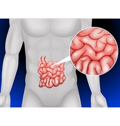 Small intestine in detail vector
