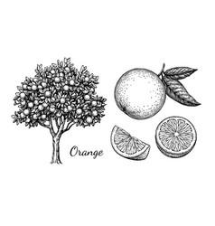 ink sketch of orange vector image