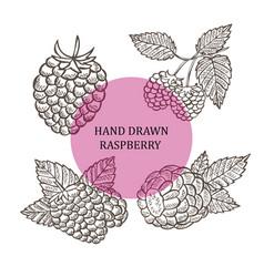 Hand drawn raspberry fruits vector