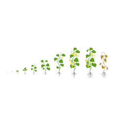 Cucumber plant growth stages vector