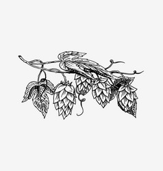 hops plant with leaves in vintage style engraved vector image