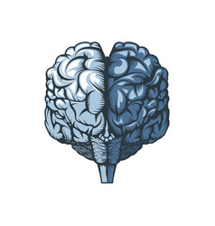 human brain on a white background freehand drawing vector image