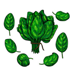 Spinach leaves hand drawn set vegetable vector