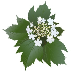White viburnum flowers with leaves and buds vector image