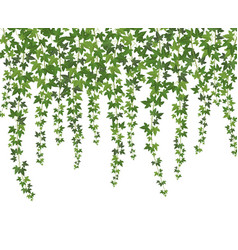 green ivy creeper wall climbing plant hanging vector image